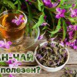 Иван-чай или кипрей узколистный: польза и вред